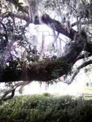 live oak with spanish moss and ferns