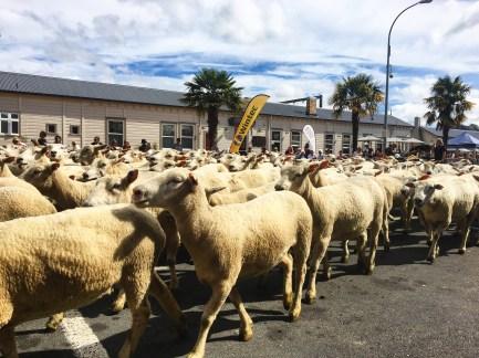 Many, Many sheep