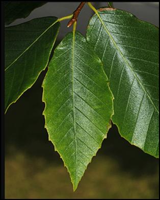 AB_leaf