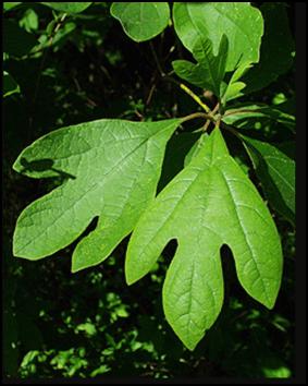 SA_leaf