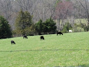 Photo of Cows in Earlysville VA