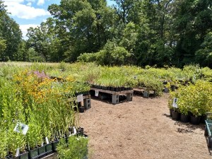 Photo of various plants for sale at Hummingbird Hill Native Plants Nursery in Earlysville VA