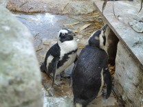 African penguins.