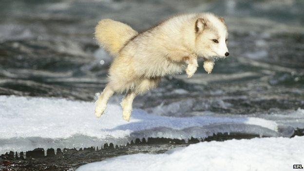 _67440540_c0138501-arctic_fox_jumping-spl