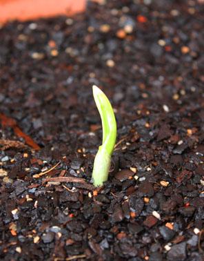 garlic2 day 14 june 27