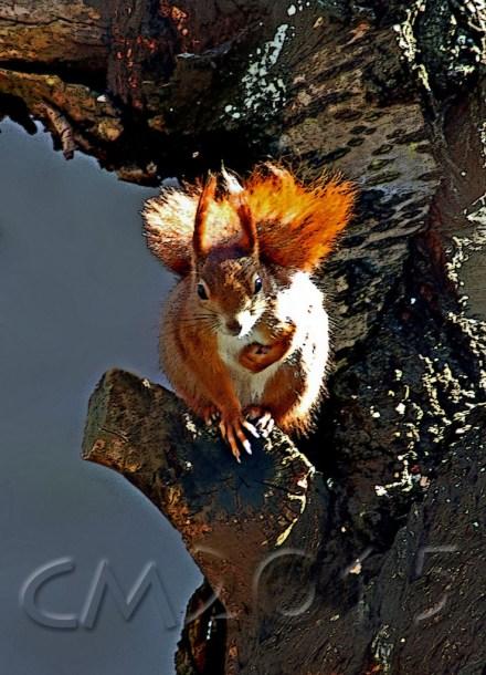 Eichhörnchen1wz, Autor: Charlotte Moser