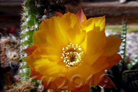 Kaktusblüte, Autor: Charlotte Moser