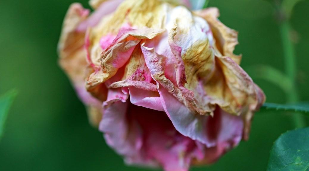 Rose, autor: charlotte moser