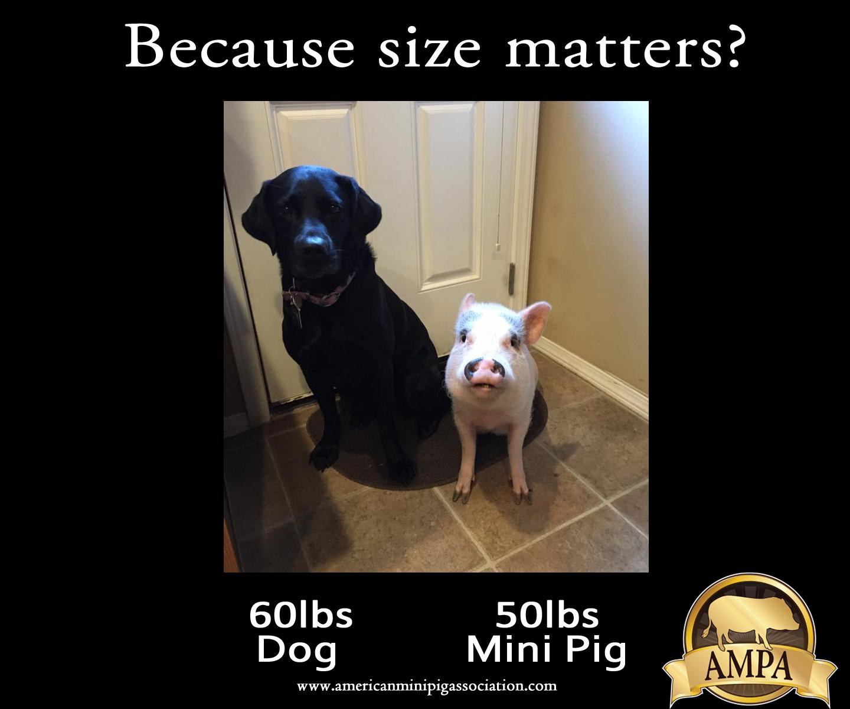 Mini Pig Sizes Charming Mini Pigs