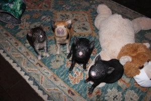 Training a mini pig sit and wait