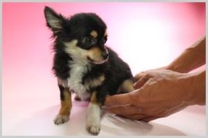 チワワ(ロングコート)子犬販売