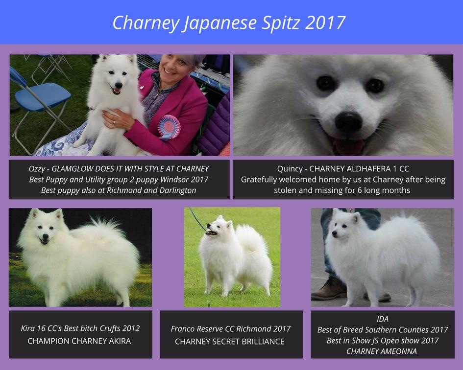 Charney Japanese Spitz 2017