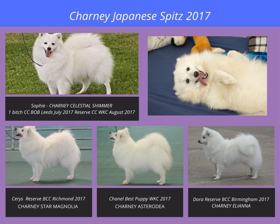 Copy of Charney Japanese Spitz 2017