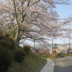 宮津 桜開花