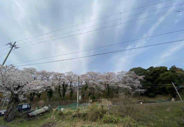 宮津中学校 桜並木 茶六本館