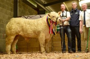 lot-76-senior-male-calf-champion-national-charolais-show-2016