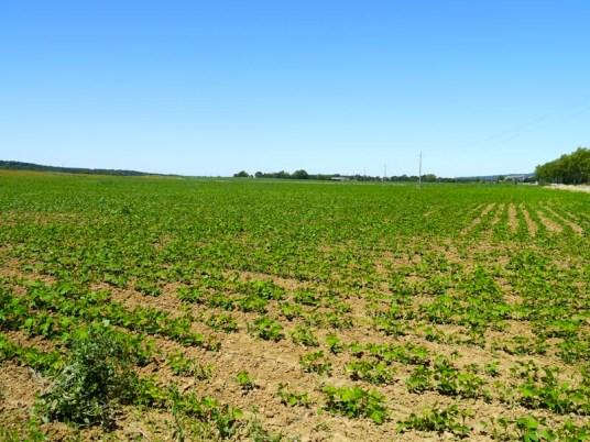 Le champ de soja