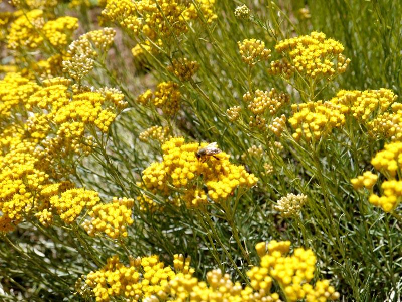 Helichryse-Naturactive(3)-Charonbellis