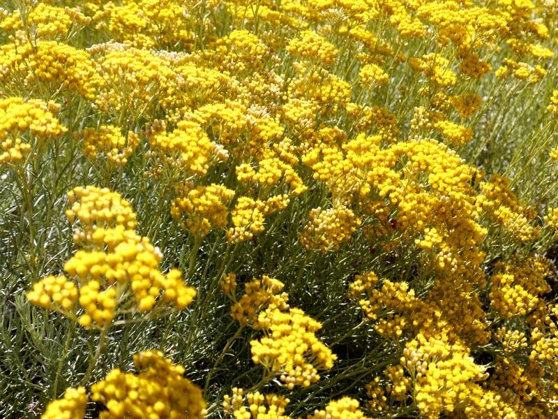 Helichryse-Naturactive(5)-Charonbellis