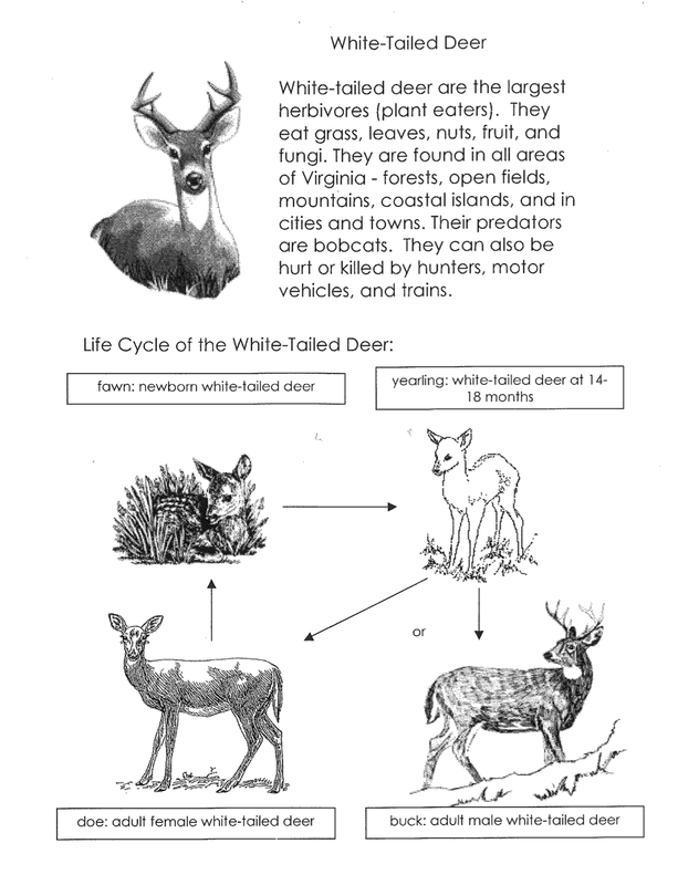 Day 3-Introduction to White-Tailed Deer Life Cycles
