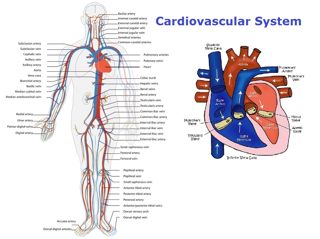 Cardiovascular System Chart Diagram