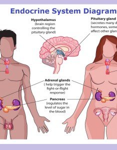 Endocrine system anatomy chart diagram charts diagrams graphs best images tables models maps and logos also rh chartdiagram