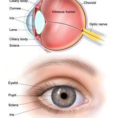 Human Eye Parts Diagram Towing Socket Wiring Chart Charts Diagrams Graphs