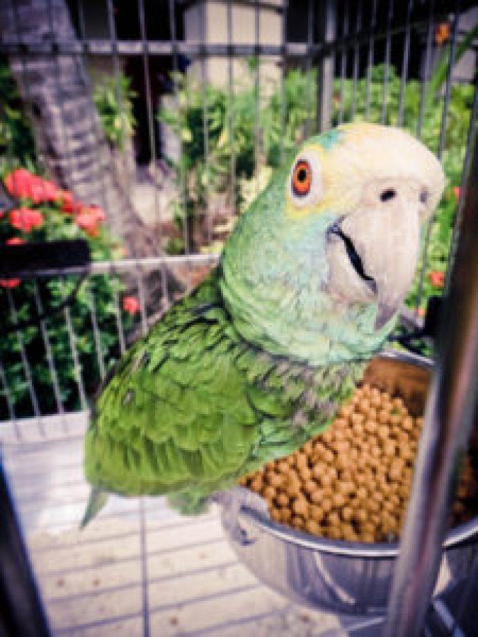 Aruba Parrot
