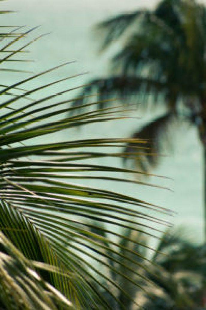 Aruba Palm Tree