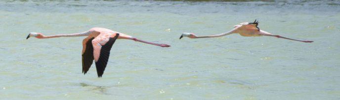 Turks & Caicos Flamingos North Caicos