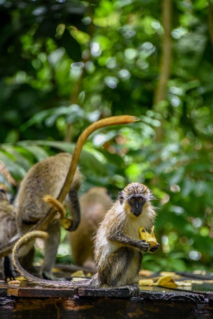 Barbados Monkey