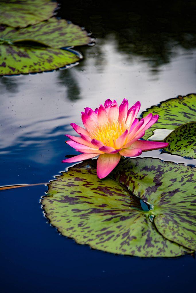 Missouri Botanical Garden Waterlily