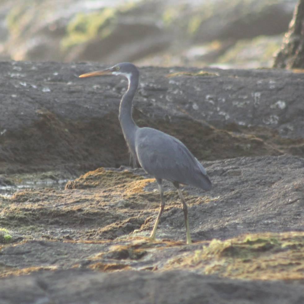 सागरी बगळा - Sagari Bagala - Sea Heron