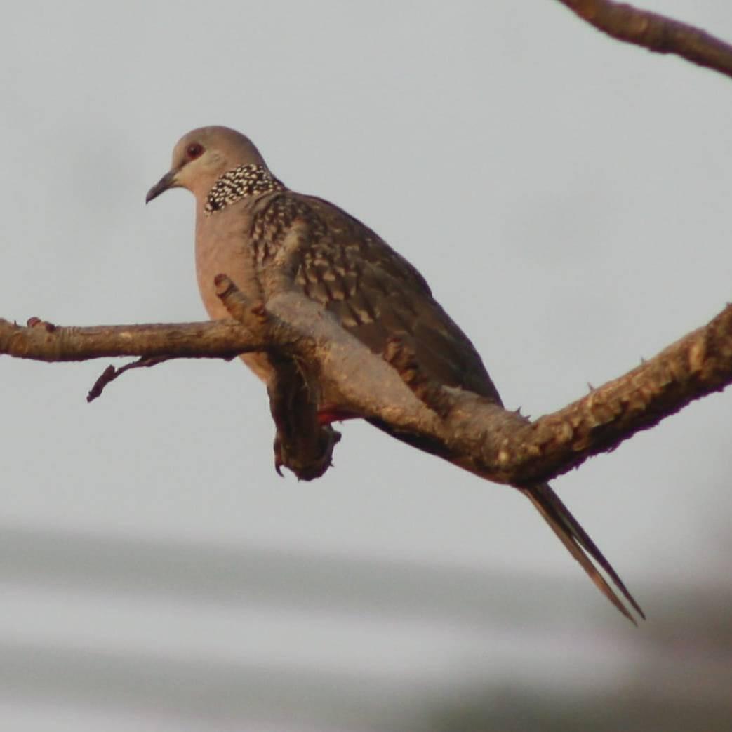 Spoted Kavada