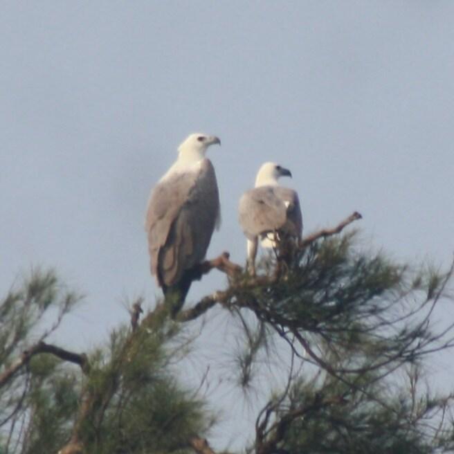 White Stomach Sea Eagle