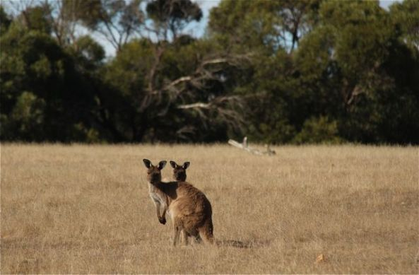 The two roos