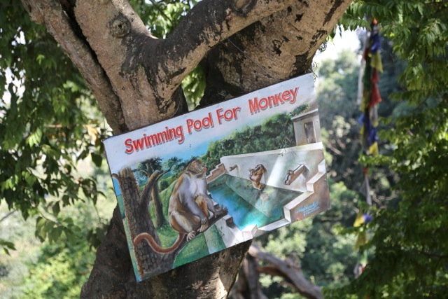 Monkey swimming pool