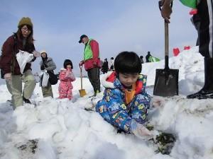 さかだに雪まつり 雪の下の野菜収穫体験に熱中する少年/どこまでもアマチュア