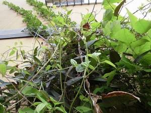 ミニミニ家庭菜園&ミニガーデニング 複数の蔓や葉が絡まって繁った様子/どこまでもアマチュア