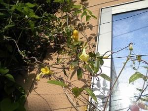 ミニミニ家庭菜園&ミニガーデニング カロライナジャスミンの黄色い花/どこまでもアマチュア