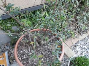 ミニミニ家庭菜園&ミニガーデニング オリーブの鉢植え/どこまでもアマチュア