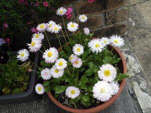ミニミニ家庭菜園&ミニガーデニング デイジーの花が咲いている花鉢/どこまでもアマチュア