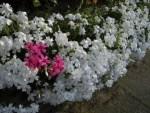 ミニミニ家庭菜園&ミニガーデニング/どこまでもアマチュア 色違いのシバザクラの花