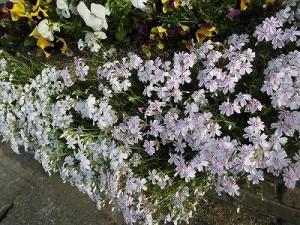ミニミニ家庭菜園&ミニガーデニング シバザクラの花/どこまでもアマチュア