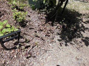 ミニミニ家庭菜園&ミニガーデニング シソの葉/どこまでもアマチュア