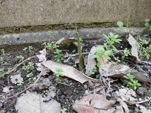 ミニミニ家庭菜園&ミニガーデニング 茗荷(みょうが)の芽/どこまでもアマチュア