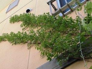ミニミニ家庭菜園&ミニガーデニング 蔓植物の葉/どこまでもアマチュア