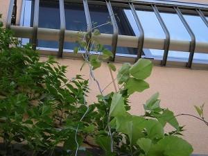 ミニミニ家庭菜園&ミニガーデニング 二階の部屋の手すりまでのびたノウゼンカズラとクレマチス/どこまでもアマチュア