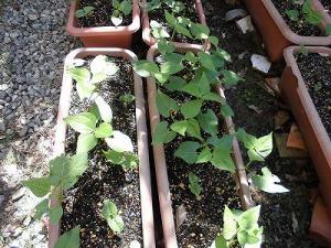 ミニミニ家庭菜園&ミニガーデニング つるなしいんげんの苗/どこまでもアマチュア