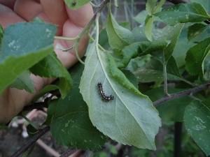 ミニミニ家庭菜園&ミニガーデニング りんごの葉の裏についた害虫/どこまでもアマチュア